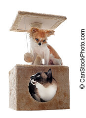 siamese cat and chihuahua - siamese cat in a scratching post...
