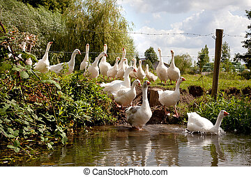 flock of white geese entering the river Kromme Rijn near...