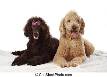 two royal poodle - two cute royal poodle, white background