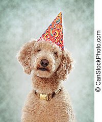 poodle with party hat