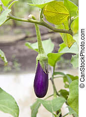 Eggplant purple on tree
