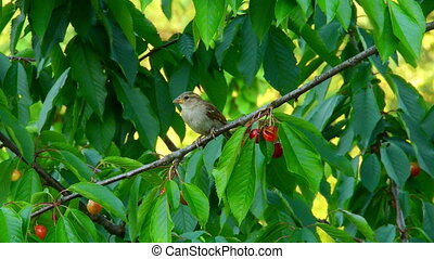 Sparrow sits on a cherry tree branch