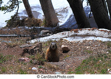 Marmot looking out of his burrow