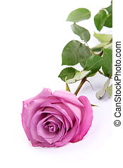 One fresh pink rose over white background - One fresh pink...