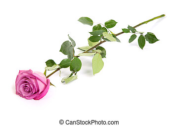 One fresh pink rose over white background - Three fresh pink...