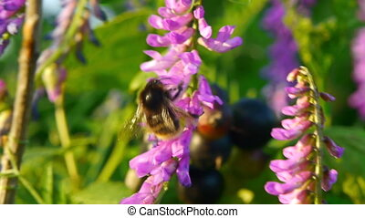Bumblebee gathering pollen - Bumblebee gathering pollen on...