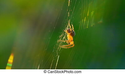 Orange spider spins a web.