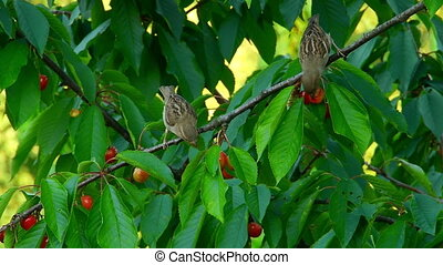 Two sparrows eat the cherries