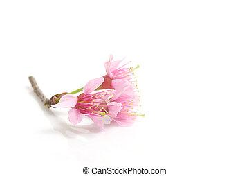 Cherry blossom , pink sakura flower isolated in white...