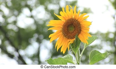 sunflower - I took the sunflower which shook by wind.