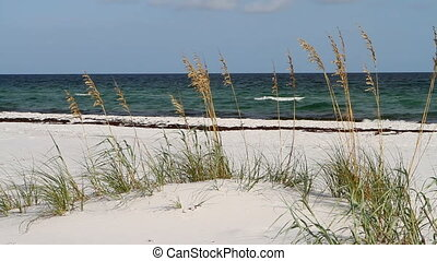 Gulf Coast Sea Oats - Sea oats on the dunes wave in the...