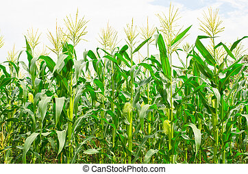 corn field - A green field of corn growing up at Thailand