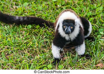 Lemur Vari - Brown and white lemur Vari (ruffed lemur) in...