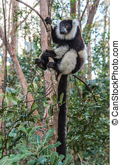 Lemur Vari - Black and white lemur Vari (ruffed lemur) in...