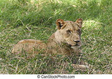 Lioness Resting - African lioness rests in the shadow im the...