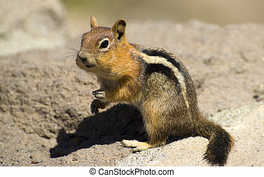 Wild Chipmunk - A Wild Chipmunk chomps on a bit of food