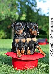 The Miniature Pinscher puppies, 1,5 months old