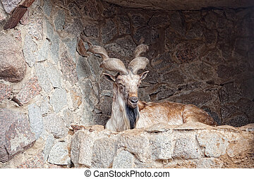 mountain goat lies on the rock