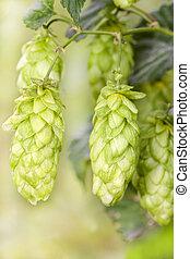 Hop - taste of beer