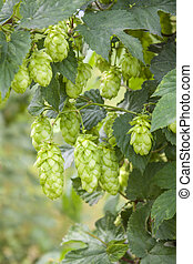Hop - taste of beer - Hop - one's taste beer owes this plant...