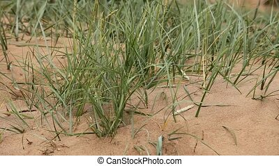 Dunes - sedges on sand