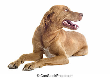 vizsla - portrait of a vizsla  in front of white background
