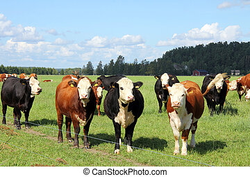 Cattle grazing on green farmland - Herd of cows grazing on...