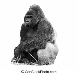 male silverback western lowland go - A black and white image...