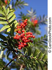 Rowan, autunno, rosso, Bacche