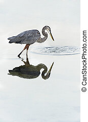 Grey Heron Looking at Ripples in Water - Beautiful grey...