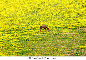 Cropping springtime grasses - Full blooded, walking horse...