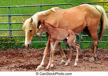 Hours Old - Mother pushes newborn walking horse to stand and...