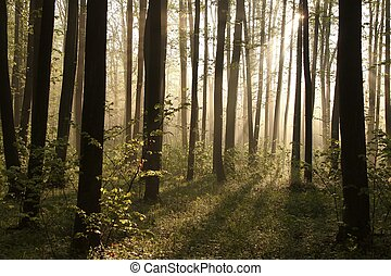 Misty spring forest at sunrise