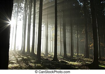 Coniferous forest in the sunshine - Sunlight entering the...