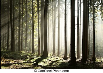 Misty coniferous forest at dawn - Sunlight entering the...