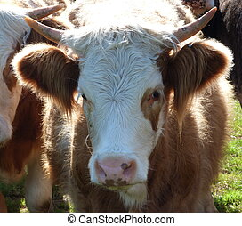 Face of a young cow