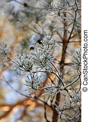 Pine tree with ice crystals