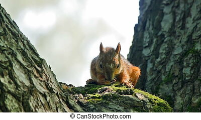 Squirrel eats while sitting on a tree trunk