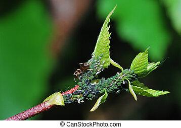 aphids oblique