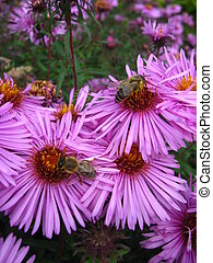 The bees sitting on the asters - The bees collecting the...