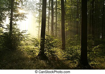 Sunrise in misty deciduous forest