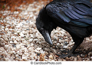 Raven Closeup - Closeup of black raven standing on ground...