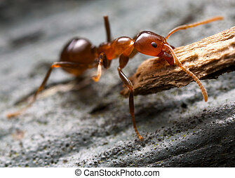 Ant lifting a piece of bark