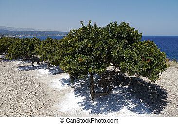 mastic grove on chios - mastic trees in a grove on chios,...