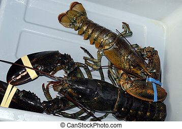 Nova Scotia Lobster - Fresh Live American Lobster ( Homarus...
