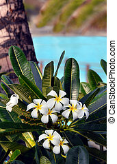 Big Island Plumeria - Resort on Big Island of Hawaii has...