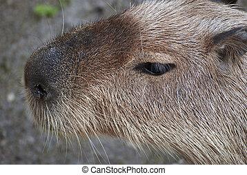 Capybara - Close up of capybara (Hydrochoerus hydrochaeris...