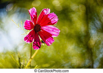 Purple Cosmos Flower Backlit by Evening Sun on Green Leaves Background