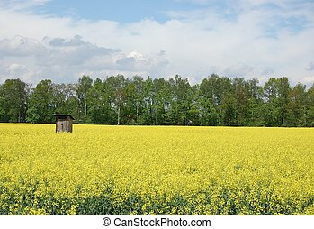 Privy in the wild - Mature field of oilseed rape before...