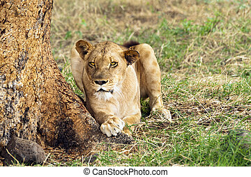 Lioness - African lioness resting in shadow under the tree ,...
